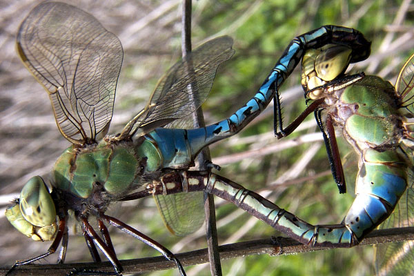 Green darner mating med