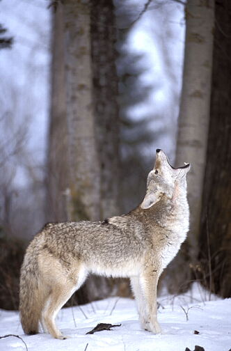 coyote howling vertical