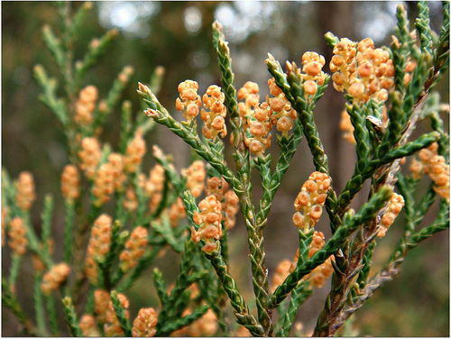 Eastern Red Cedar Flower Native Tree Spotlight:...
