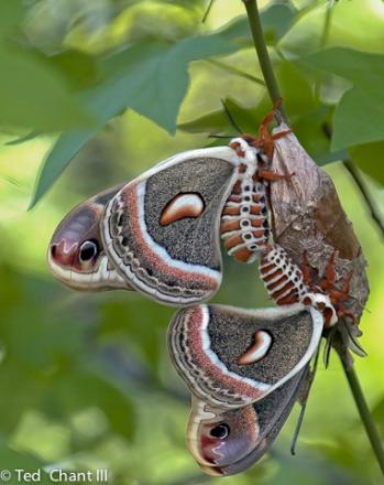 Many species of butterflies and moths like these Cecropia silkmoths depend on box elder for their survival.