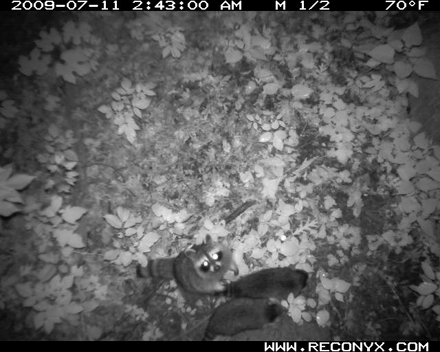 Nocturnal mammal camera shot