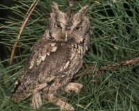 Native Animal of the Month: Eastern Screech Owl