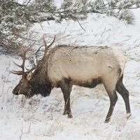 Native Animal of the Month: Elk