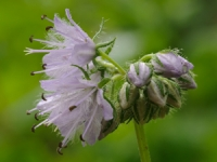 Wisconsin Wildflowers: Virginia Waterleaf (Hydrophyllum virginianum)
