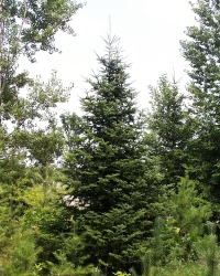 Native Tree Spotlight: Balsam Fir (Abies balsamea)
