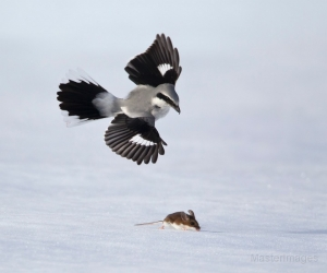 Native Animal of the Month: Northern Shrike