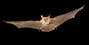 Native Animals of the Month: Cave Bats