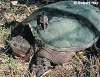 Native Animal of the Month: Common Snapping Turtle
