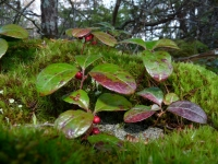 Native Plant of the Month - Wintergreen