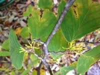 Witch-hazel in bloom