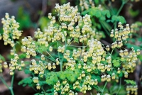 Native Plant: Early Meadow-Rue