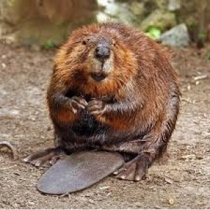 Native Animal of the Month: Beaver (Castor canadensis) Part 2