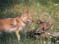 Coyote and pup smell each other.