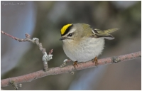 Native Animal of the Month - Golden-crowned Kinglet