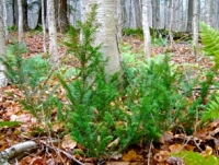 Native Plant of the Month: Canada Yew