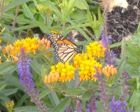 Research Highlight: Migrating Monarchs!