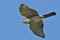 Native Animal of the Month - The Cooper's Hawk