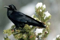 Native Animal of the Month: Common Raven