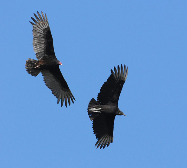 Turkey and Black Vulture in flight against a bright blue sky