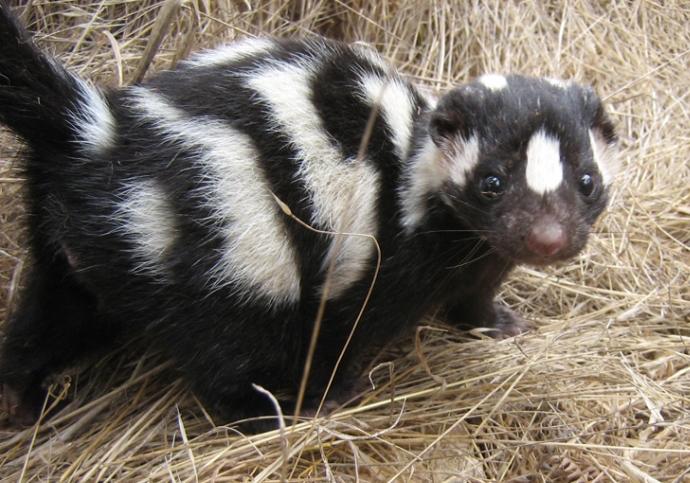 Striped Skunk Spotlight