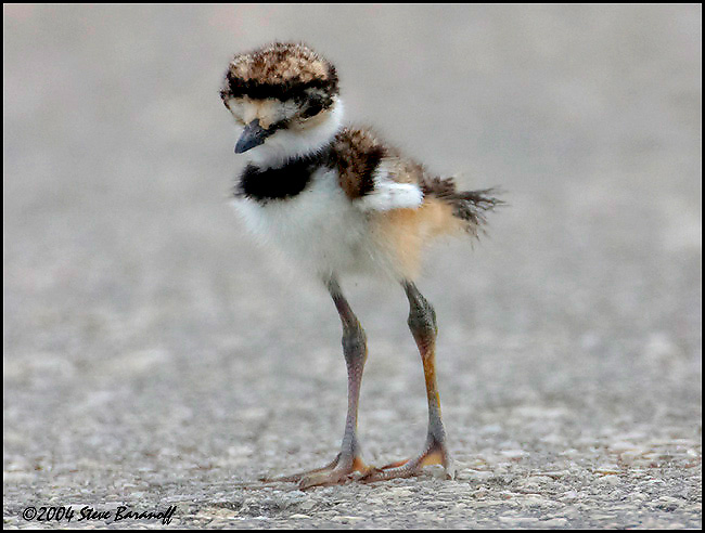 4074-2-killdeer-chick