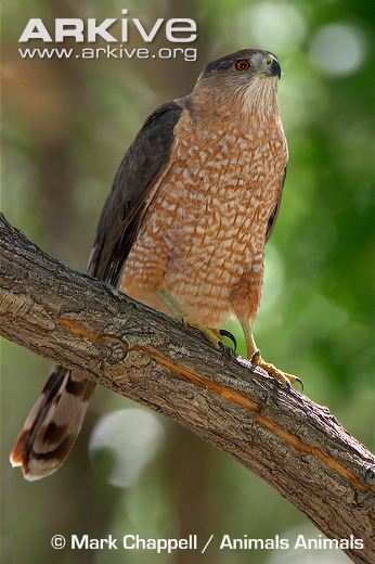 Adult-female-Coopers-hawk