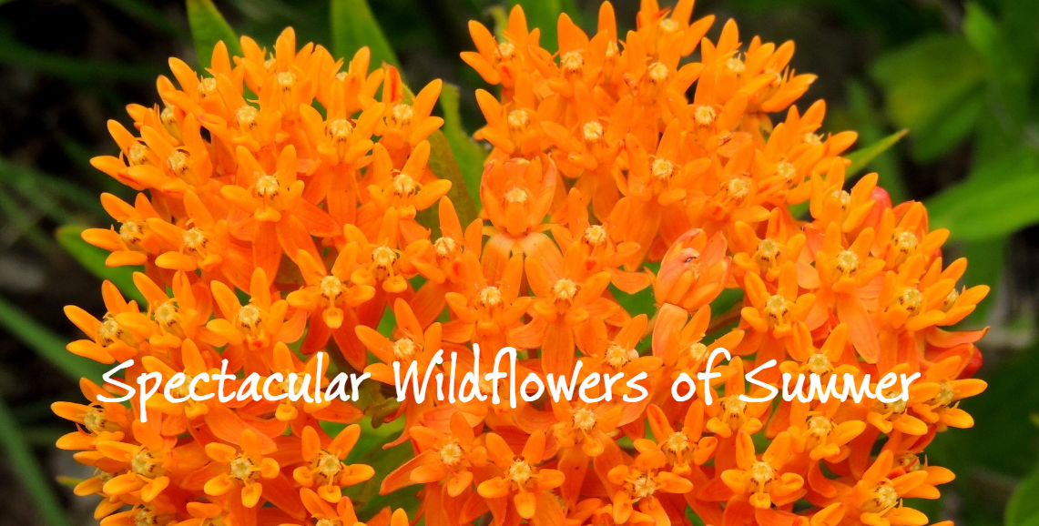 Spectacular Wildflowers of Summer Guided Hike