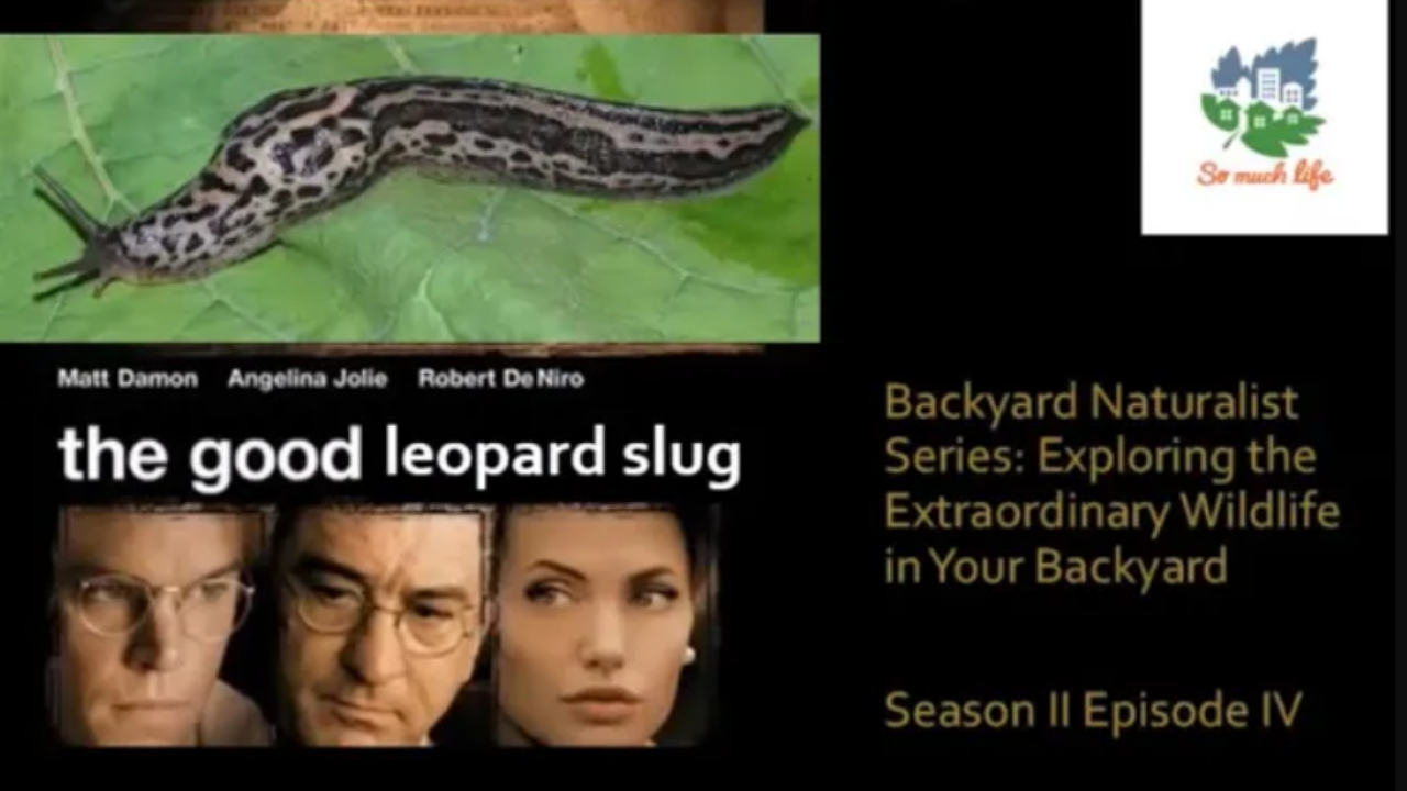 Backyard Naturalist Series.  Season 2, Episode 4: The Good Leopard Slug