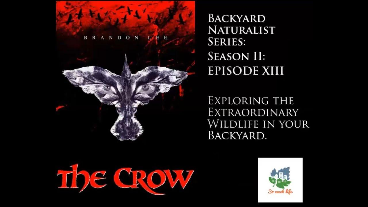 Backyard Naturalist Series, season 2, episode 13: The Crow