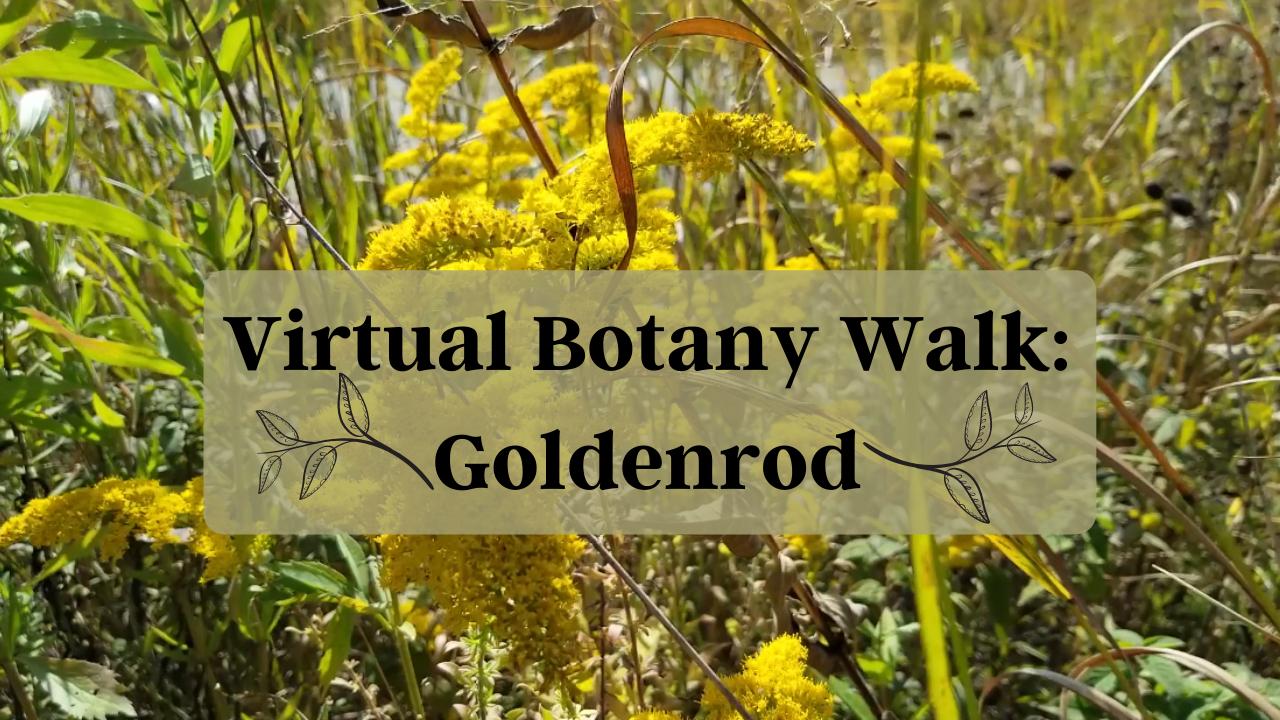 Virtual Botany Walk: Goldenrod