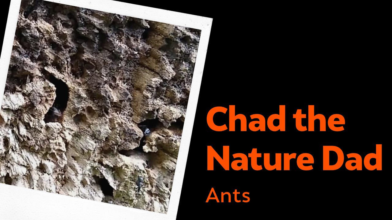 Chad the Nature Dad: Ants