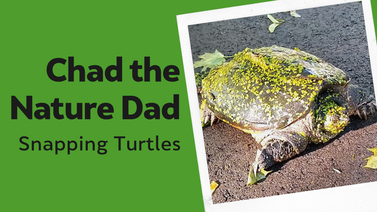 Chad the Nature Dad: Snapping Turtles