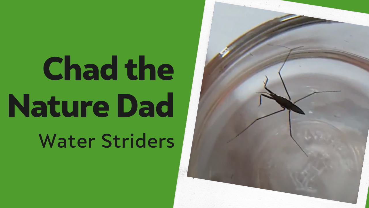 Chad the Nature Dad: Water Striders
