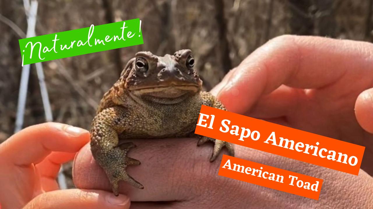 Exploring Nature: American Toad