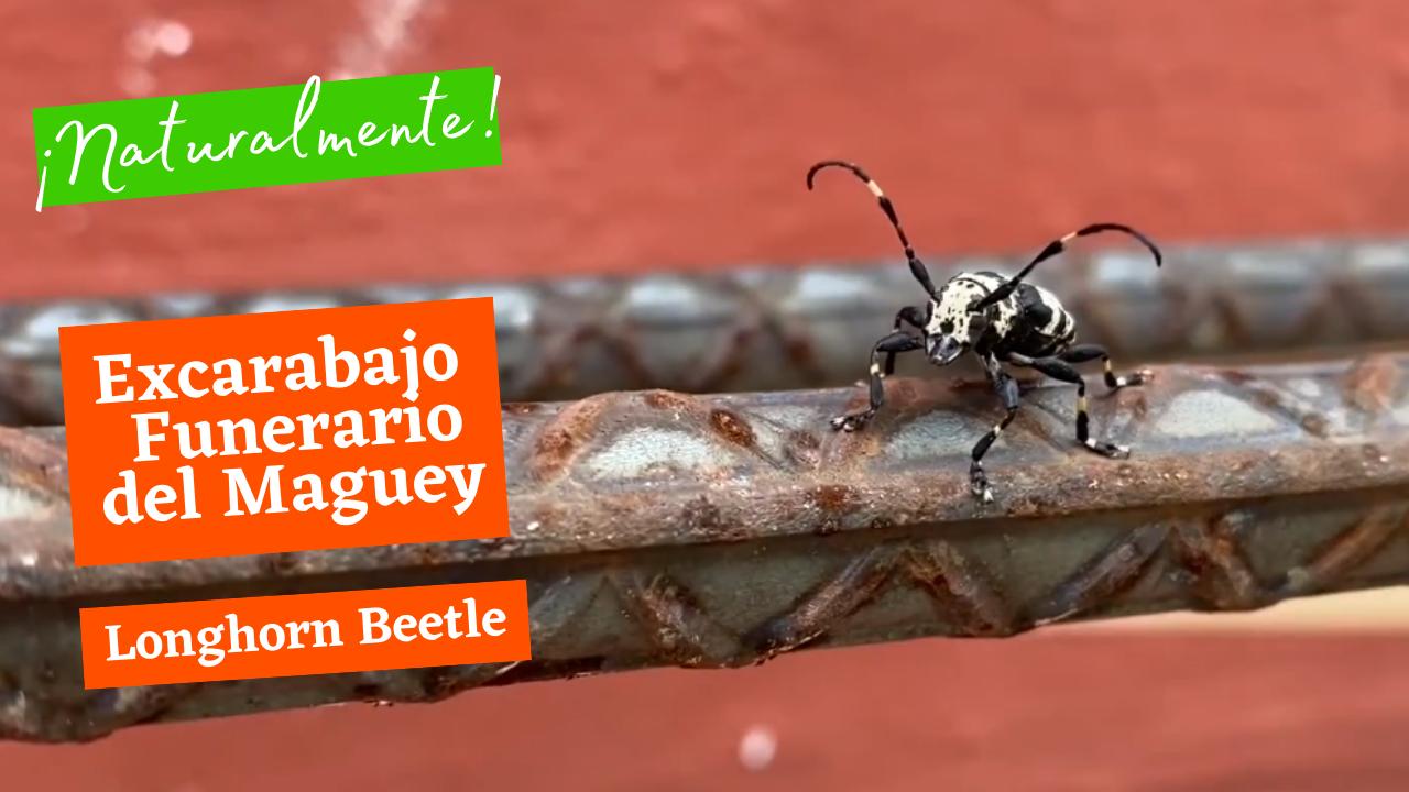 Exploring Nature: Longhorn Beetle - Escarabajo Funerario del Maguey