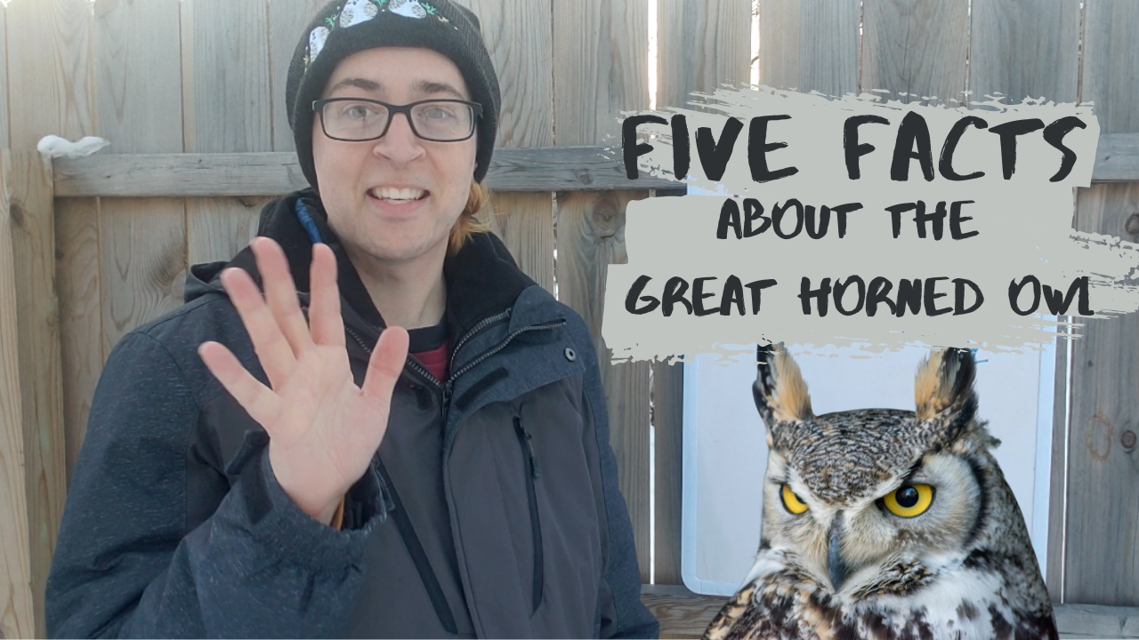 Five Facts about the Great Horned Owl