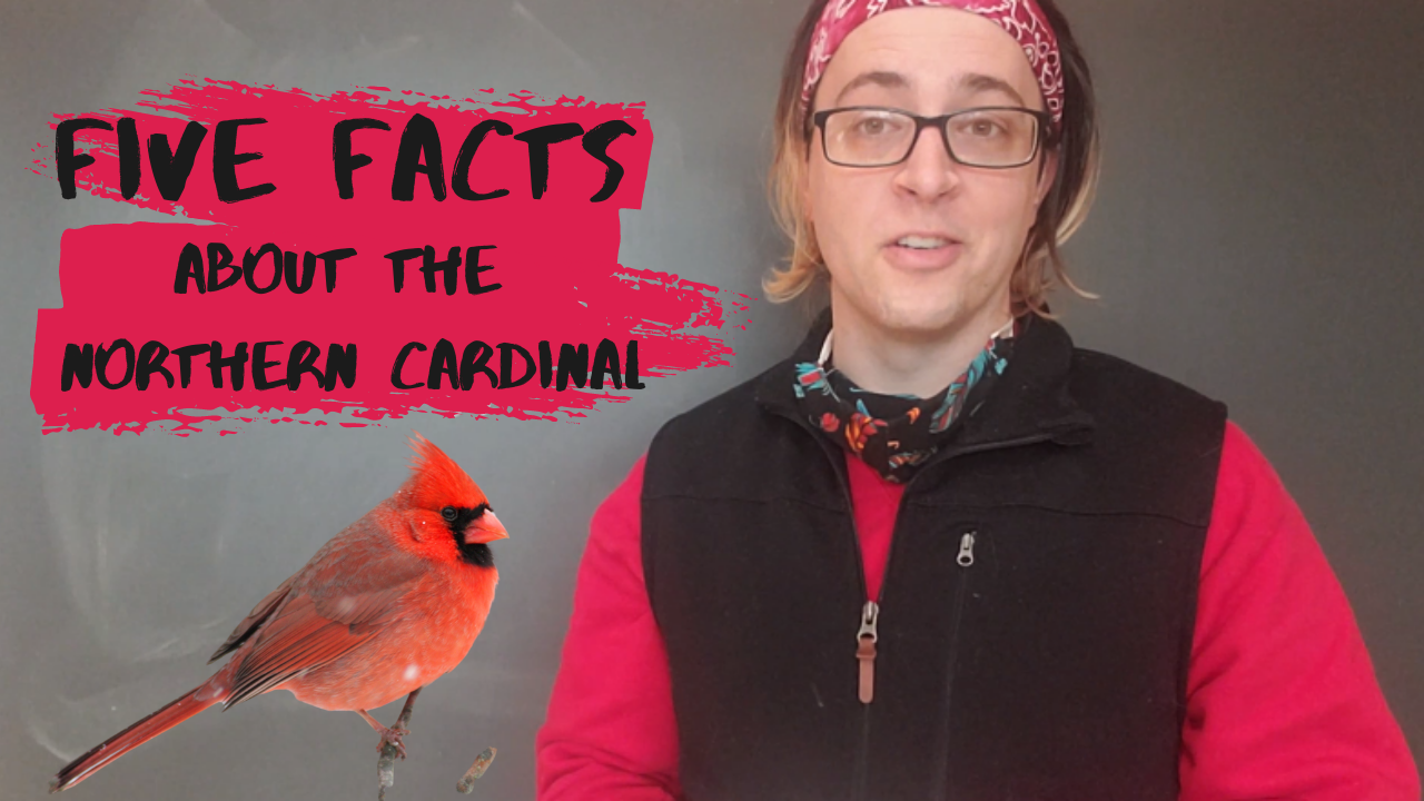 Five Facts about the Northern Cardinal
