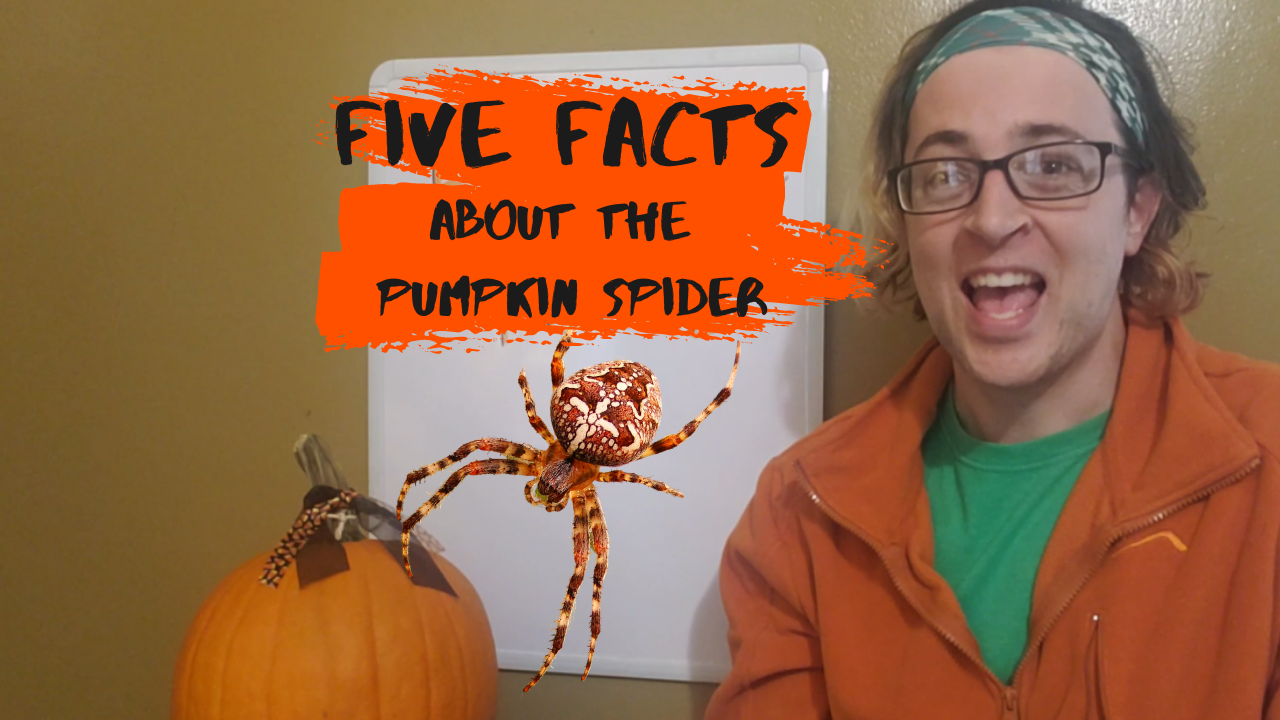 Five Facts about the Pumpkin Spider