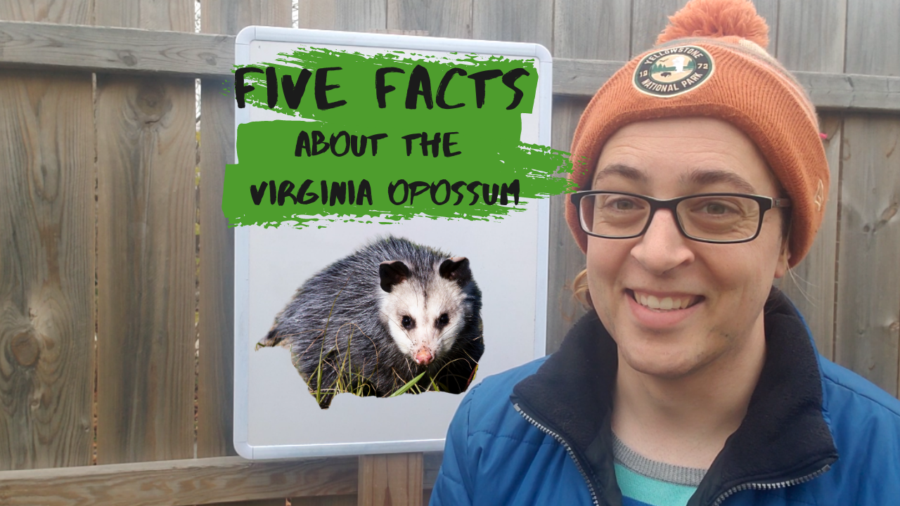 Five Facts about the Virginia Opossum