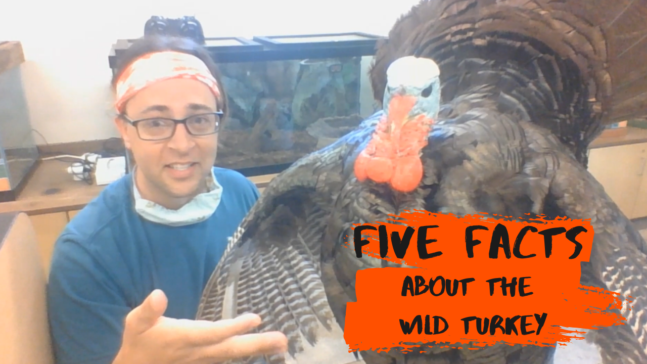 Five Facts about the Wild Turkey