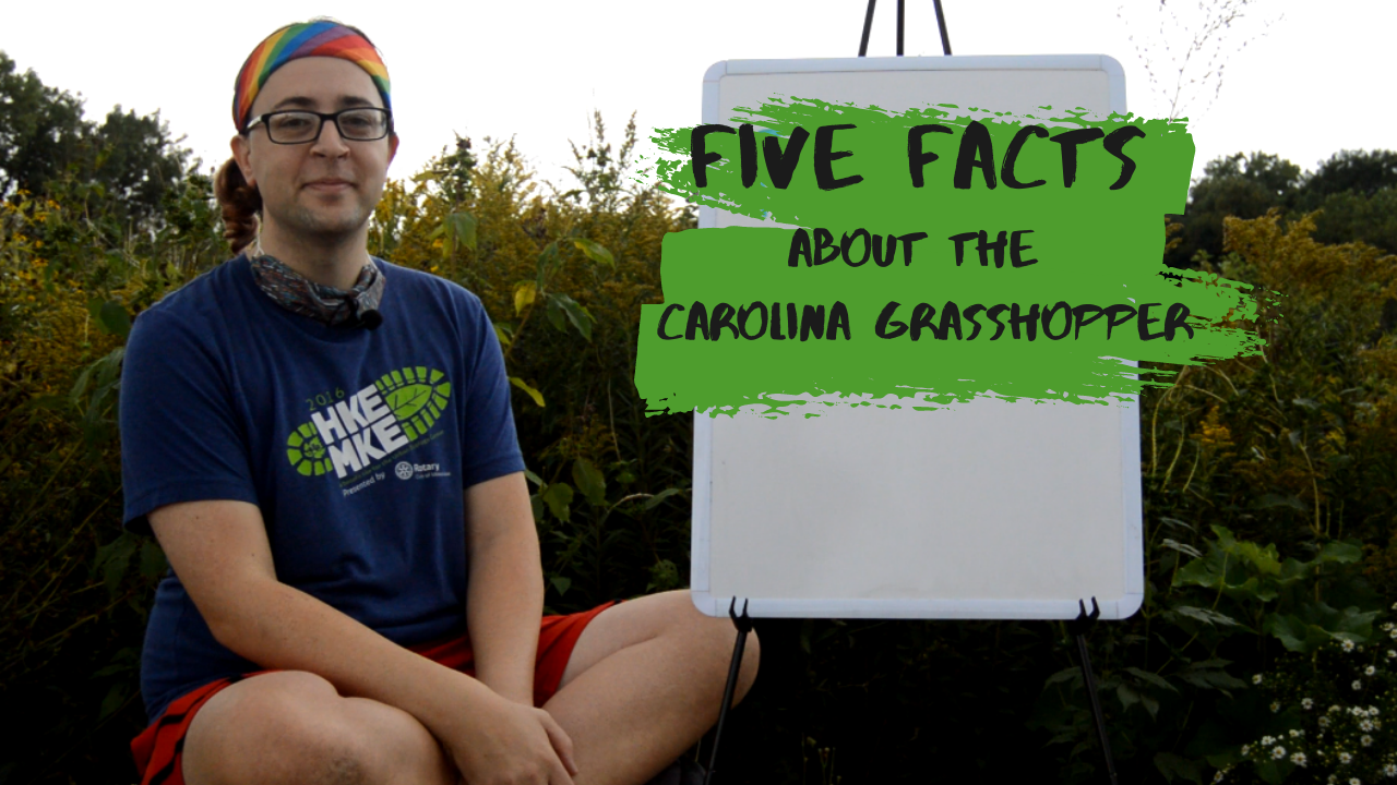 Five Facts about the Carolina Grasshopper