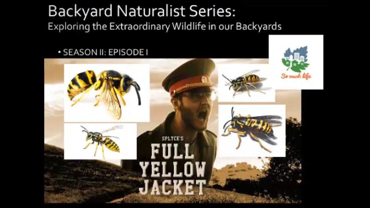 Backyard Naturalist Series, season 2, episode 1: Full Yellow Jacket