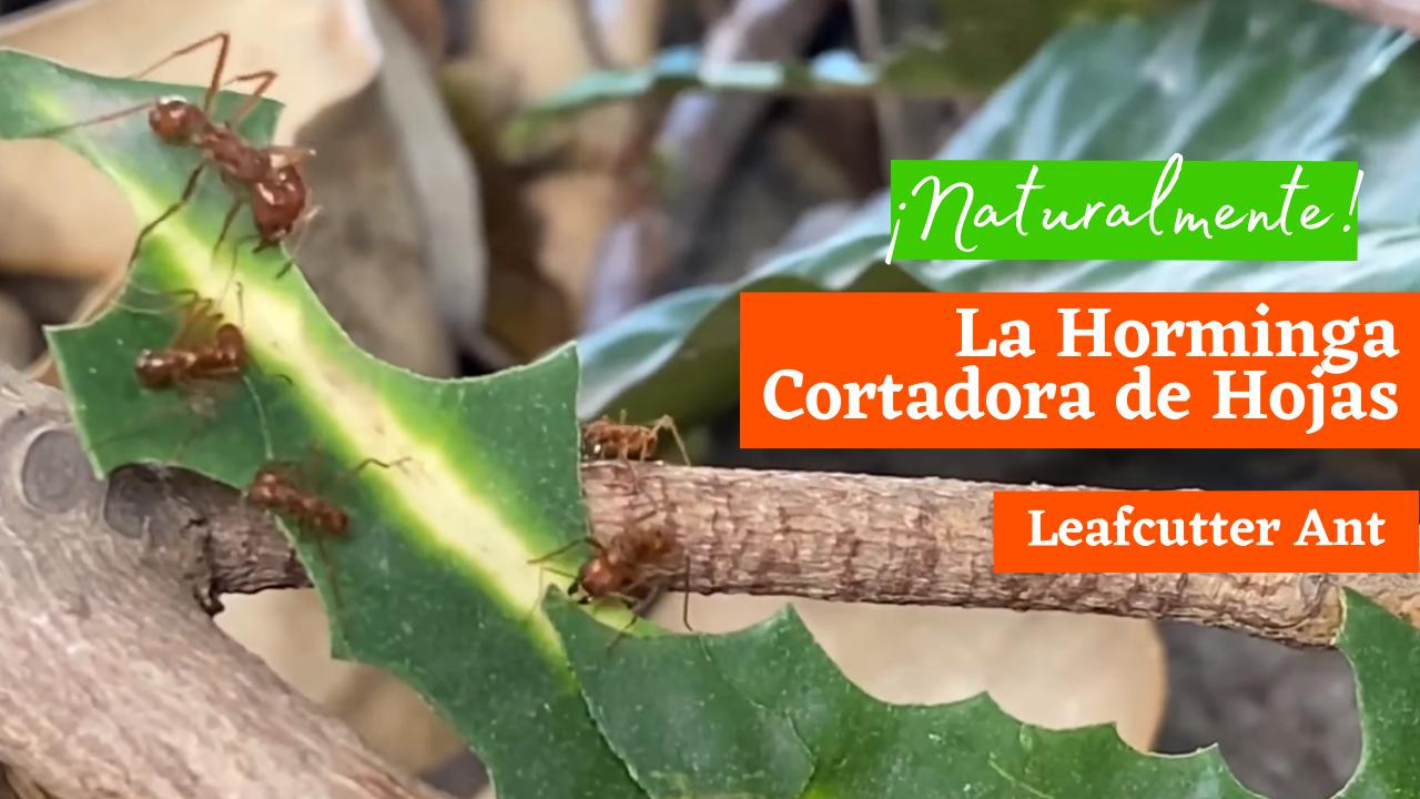 Leafcutter Ant - La Hormiga Cortadora de Hojas