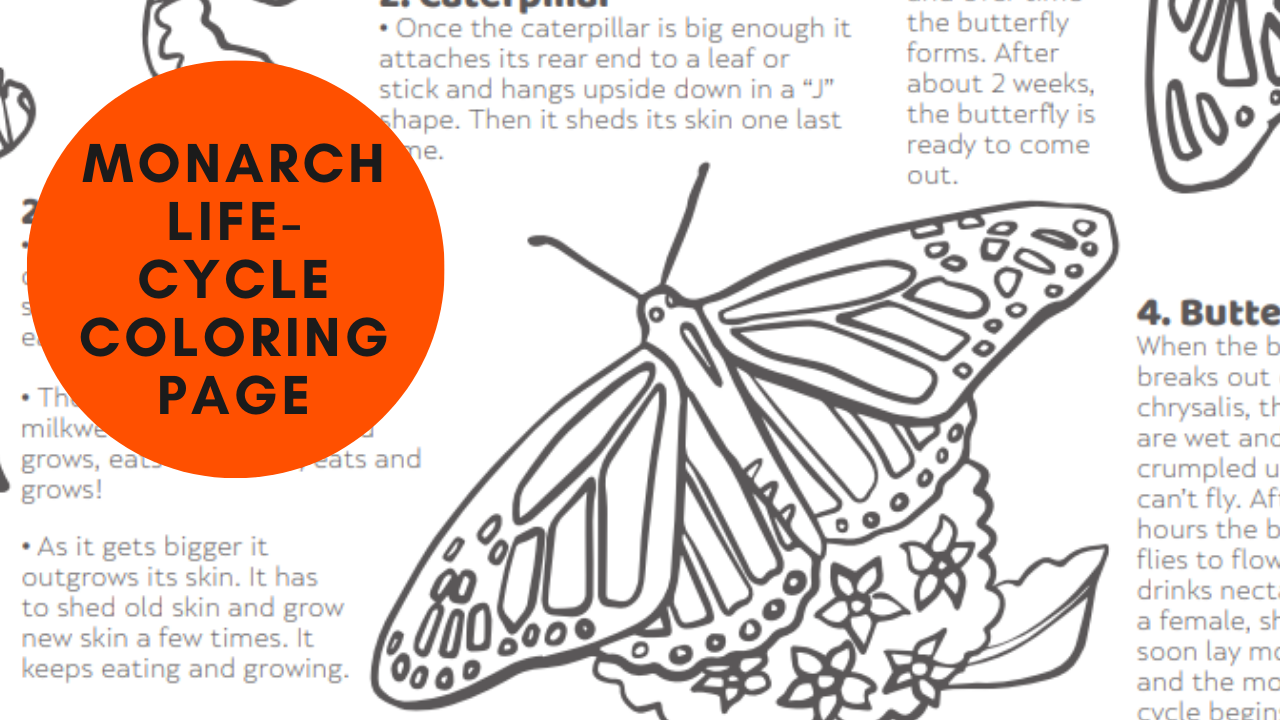 A monarch butterfly's life cycle (coloring page)