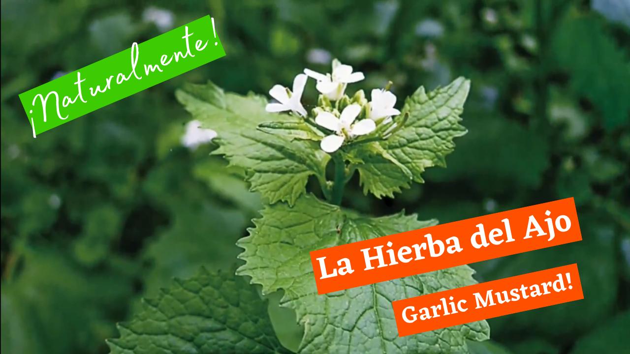 Naturalmente: La Hierba del Ajo (Garlic Mustard!)