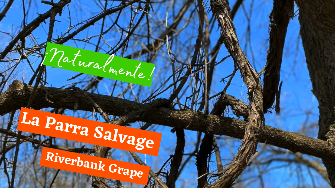 Naturalmente: La Parra Salvage (Riverbank Grape)