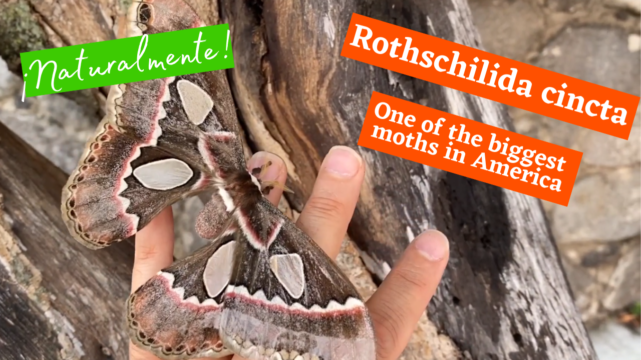 Rothschildia cincta, one of the biggest moths in America