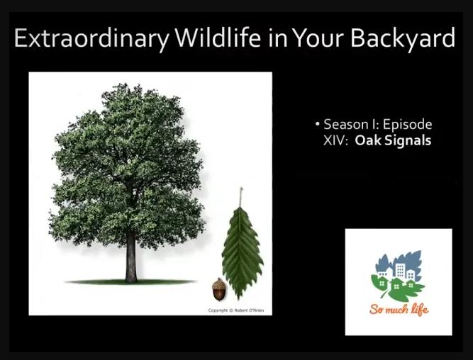 Extraordinary Wildlife in Your Backyard, Season 1, Episode XIV: Oak Signals