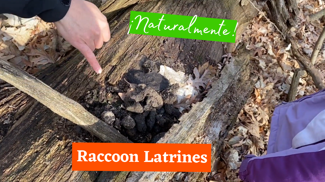 Raccoon Latrines