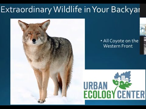 Extraordinary Wildlife in Your Backyard. Season 1, Episode VIII: All Coyote on the Western Front